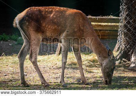 Sika Deer Female In The Aviary. The Sika Deer, Cervus Nippon, Also Known As The Spotted Deer Or The
