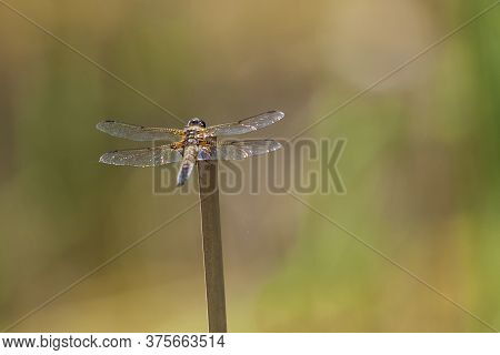 Anisoptera - Dragonfly Sitting On A Blade Of Grass.
