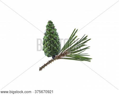 Pine Cone Isolation. Pine Cone On A Branch Isolated On White. Spruce Branch With Green Bump On White