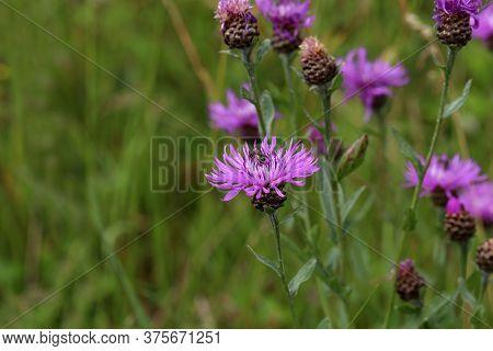 Purple Flower Of A Thistle In An Urban Garden