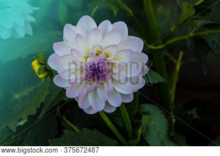 Blooming White Dahlia In The Garden. Dahlia Is A Genus Of Bushy, Tuberous, Herbaceous Perennial Plan