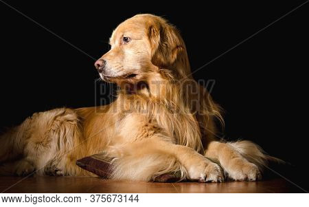 Golden Retriever dog . Studio shot of an adorable Golden retriever