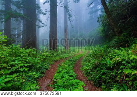 Foggy Morning And A Dirt Road In The Redwood Forest