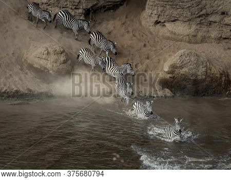 Masai Mara Zebra River Crossing,Plain zebra, (Equus quagga), crossing the river