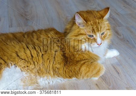 Fluffy Cat With Green Eyes, Red Cat Home Eyes Blue, Red Cat
