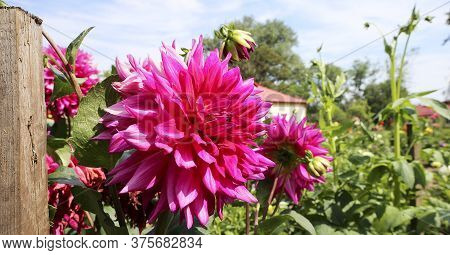 Dahlia Lovely Big Flowers. Group Dahlias. Flowers Dahlias With Petals In Various Tones Of Pink Color