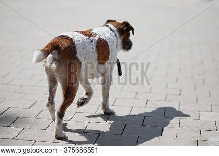 Dog With  Collar Is Lost And Wandering Around  City, Dirty Stray Dog ??is Hungry, Jack Russell Has L