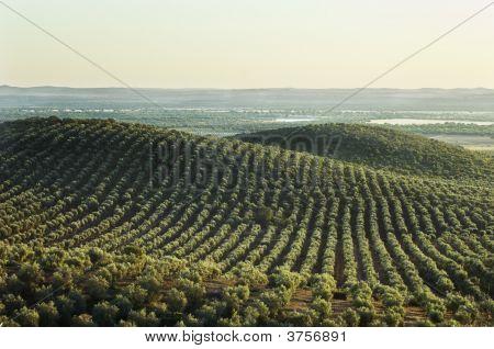 Olive Grove Landscape In Alentejo