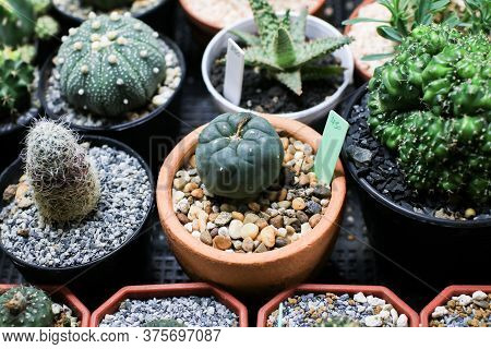 House Plants Miniature Cactus Pot With Small Stones Placed Special Prickly Decorate In The Garden Fa