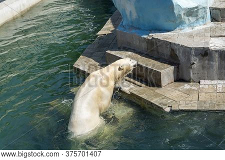 Russia, The City Of Novosibirsk, The Zoo On June 16, 2014. A Polar Bear Climbs Out Of The Water. The