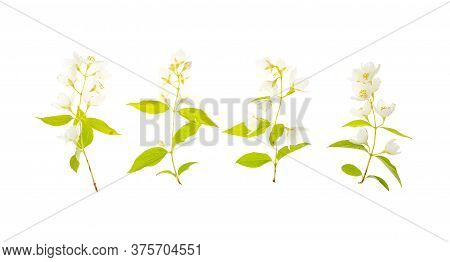 Sprigs Of Philadelphus With White Flowers. Photo