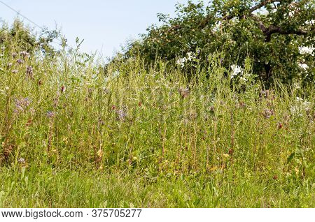 Summer Meadow With Wildflowers Like White Bedstraw, Phacelia, Crimson Clover, Borage And Bush Vetch