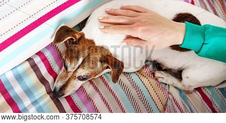 Lady In Turquoise Pullover Hand Pets Sleepy Puppy With Brown And White Fur On Blanket In Bedroom Clo