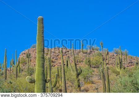 Saguaro Cactus Growing In The Lake Pleasant Regional Park, Sonoran Desert, Arizona Usa