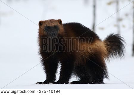 Wolverine (gulo Gulo) With Snow And White Background.typical Image Of A Wolverine In The Snow In Win