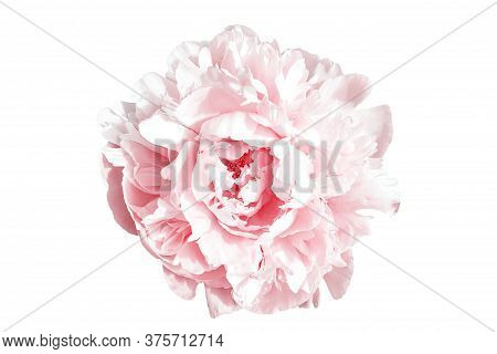 Amazing Pink Peony Flower Isolated On White Background. Large Petals On Blooming Peony. Delicate Sha