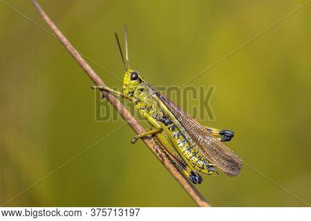 Large Marsh Grasshopper (stethophyma Grossum) Perched On Twig Against Tranquil Green Background