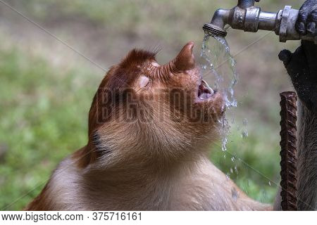 Wild Proboscis Monkey Or Nasalis Larvatus, Drinks Water Of Borneo, Malaysia