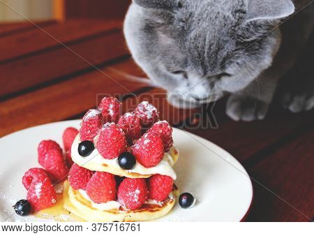 A Gray Scottish Cat Eats Freshly Ripened Sweet Raspberries Harvested In June. Omnivore Cat.
