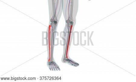 Human Skeleton Anatomy Fibula Bone 3D Rendering