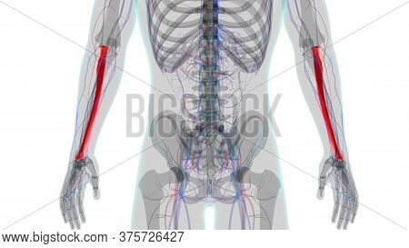 Human Skeleton Anatomy Radius Bone 3D Rendering For Medical Concept01