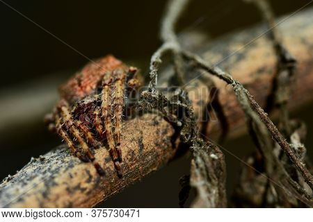 Macro Of A Common House Spider (parasteatoda Tepidariorum). The Name House Spider Is A Generic Term