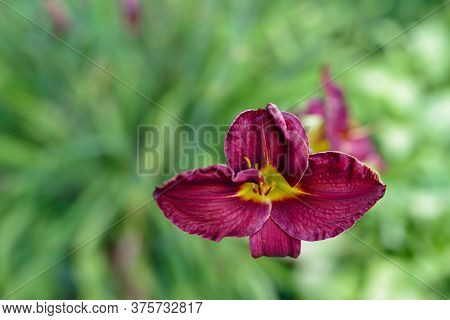 Red Daylily Wide Open In High Angle View With Green Garden Bokeh Background. Natural Light, Full Fra