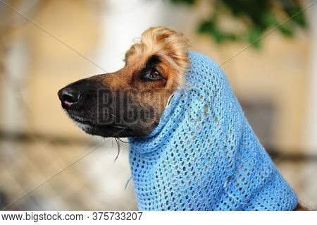 Afghan Hound In The Hood Looking At The Light