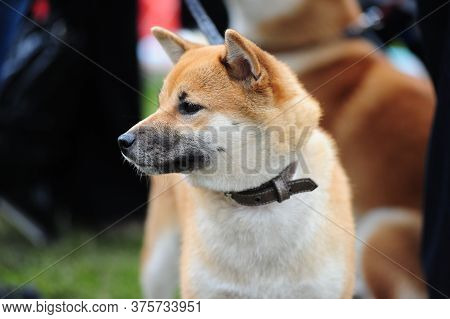Akita Inu On A Background Of Green Grass