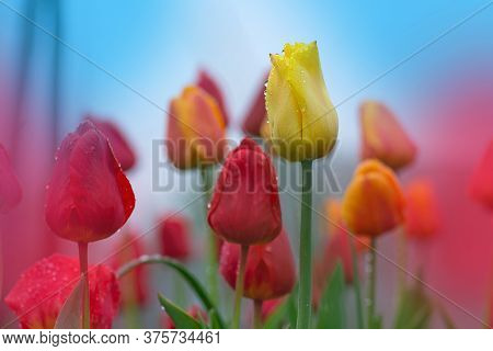 Mixed Color Tulips. Mix Of Spring Tulips Flowers