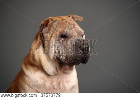 Chinese Shar Pei Dog