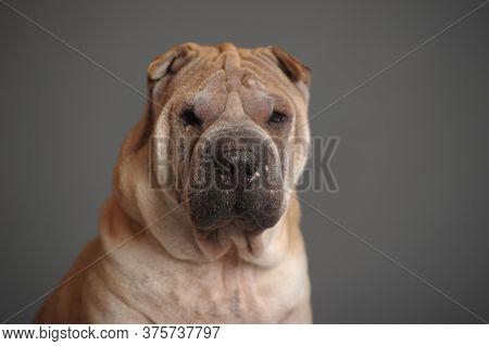 Shar Pei Dog Sit In Studio, Isolated