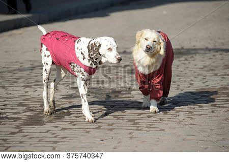 Dalmatian And Retriever In Walking Clothes Outdoor