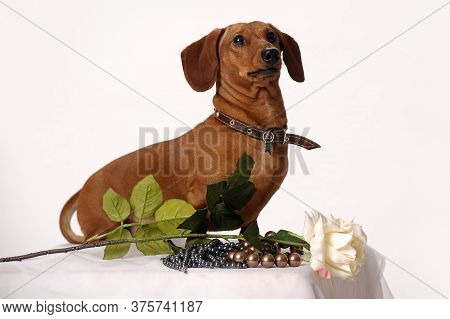 Longhair Dachshund Puppy, Isolated On White Holding A Bouquet Of Tulips