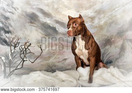 American Staffordshire Terrier On Snow, Stafford In Winter, Running Amstaff, Jumping Stafford, Happy