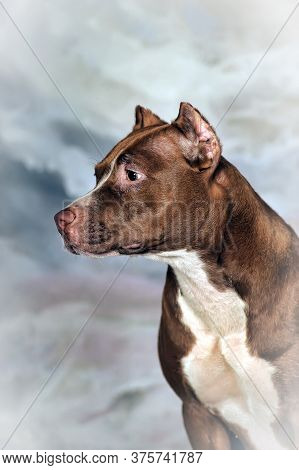 Staffordshire Pit Bull Terrier On A Winter Background