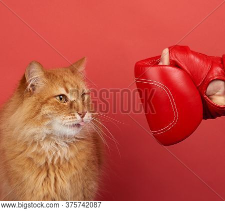 Adult Red Cat Fights With A Red Boxing Glove. Funny And Playful  Animal Shows His Tongue,  Red Backg