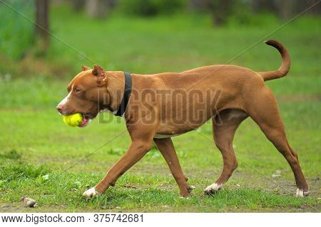 American Staffordshire Pit Bull Terrier Stand On The Grass