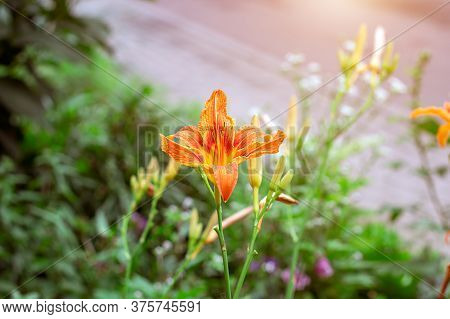 Bright Orange Lilly Flowers On Green Leaves In The Garden In Spring And Summer.