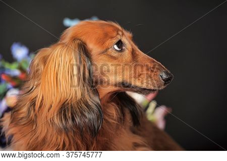 Longhaired Red Dachshund And Flowers