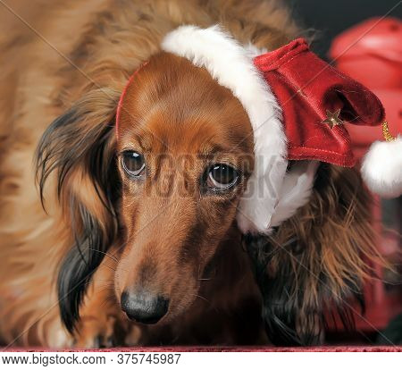Long-haired Dachshund In A Christmas Hat On A Dark Background