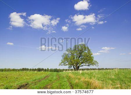 Single Oak  In The Spring.