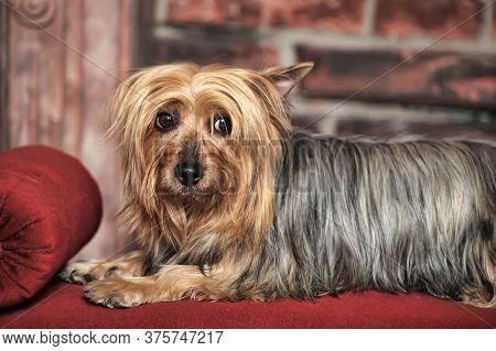 Silky Terrier On A Red Velvet Bench In The Studio