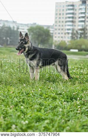 Shepherd On Grass Background