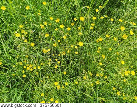Bright Yellow Buttercups In A Meadow. Wild Flowers And Green Grass Background. Summer Time.