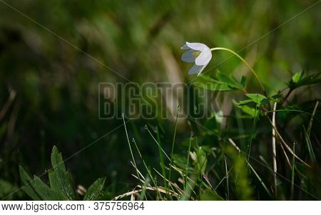 White Anemone Windflower,  Anemone Canadensis In Forest