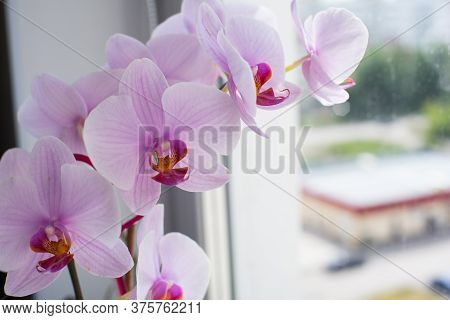 Orchid Flower Home On A Window Background. Floral.