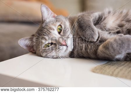 Young Tabby Cat Lies On A Table Resting Clutching Its Paws