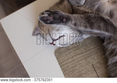 Young Cat Lies On A Table Resting His Eyes Shut