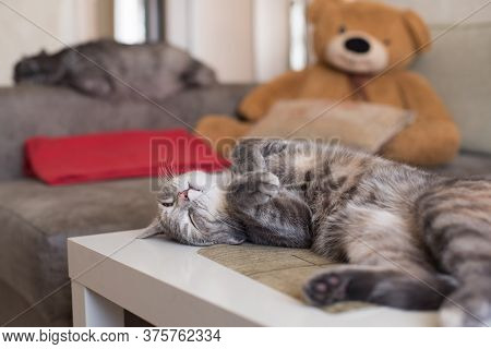 Two Cats At Home Lying, Sleeping Against A Sofa And A Teddy Bear